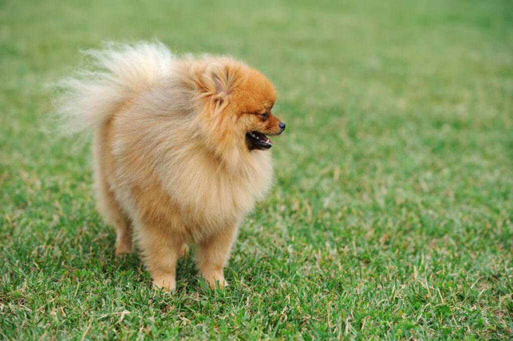 כלבי פומרניין