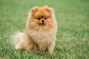 כלב פומרניין