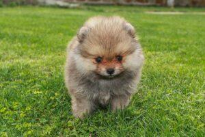 שלבי התפתחות של כלב פומרניין